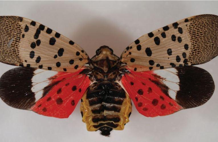 Alerta de plaga de mosca linterna en condados de Allegheny, Westmoreland y Beaver